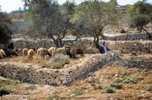 Shepherd-with-flock