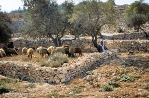 Shepherd-with-flock
