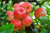 red-apples-on-tree-11294511627z6e