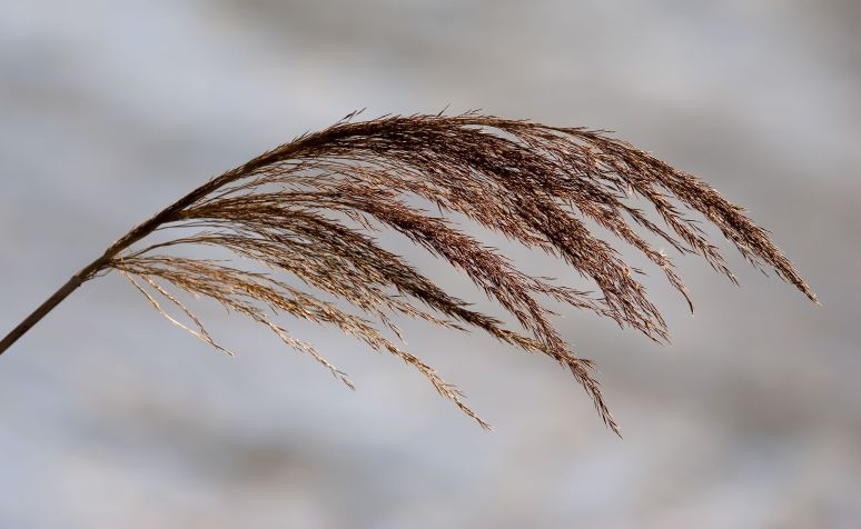 The golden grassy head of a reed stem blowing in the wind.