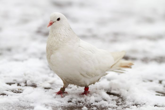 A white dove sits on the first snow in late autumn